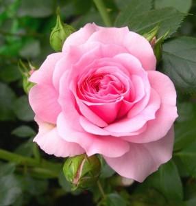 Conseils pour tailler un laurier roseactualit sites internet blog d 39 actualit s ouvert tous - Quand tailler les lauriers roses ...