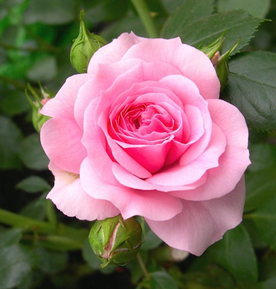 http://www.actualite-sites-internet.com/wp-content/uploads/2013/07/rose.jpg