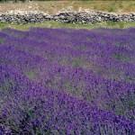 Eau Florale de Lavande biologique