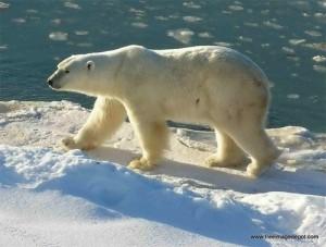 Google Polar Bear ou l'ours polaire de google
